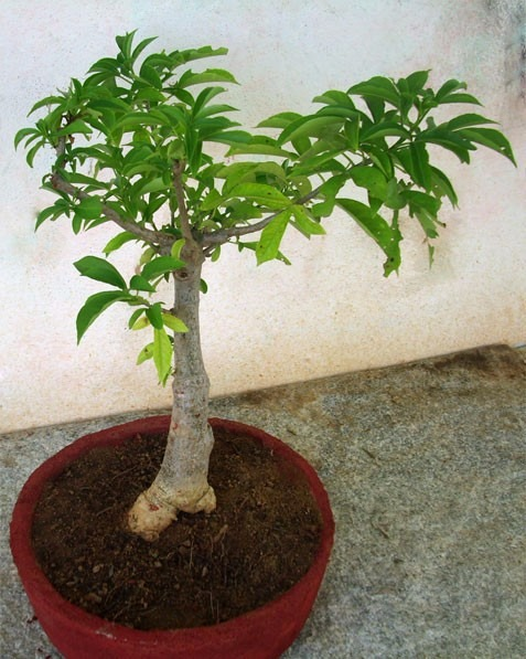 Sementes Bonsai Baoba Adansonia Digitada Baobab P Mudas