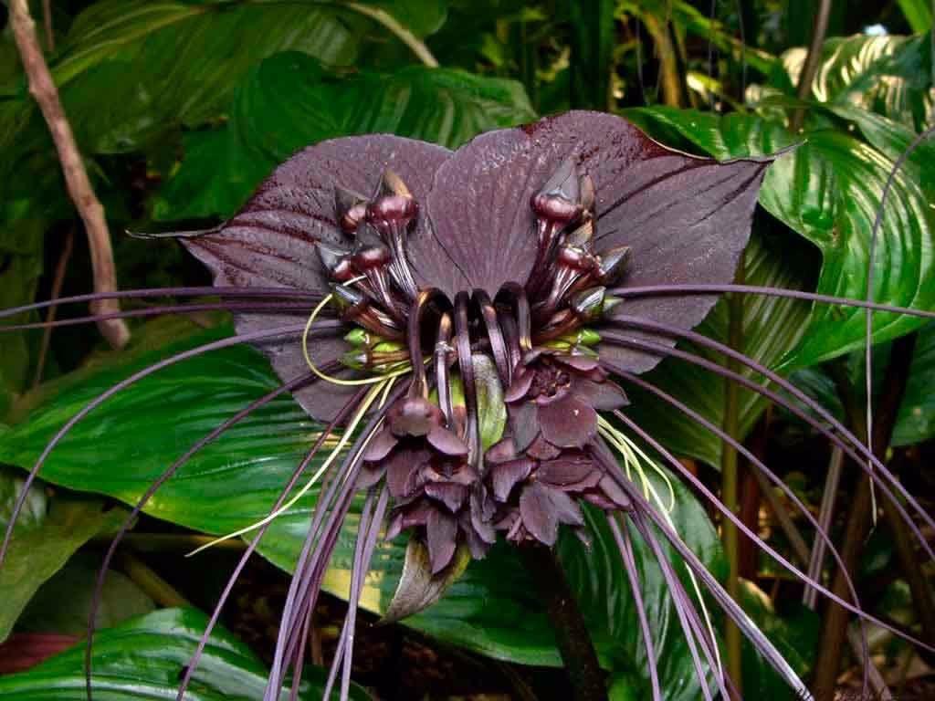 Sementes Orquidea Negra Tacca Chantrieri Flor Morcego