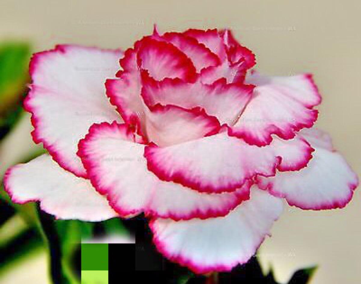Semillas De Rosa Del Desierto  Flor Blanca Bordes Rojos