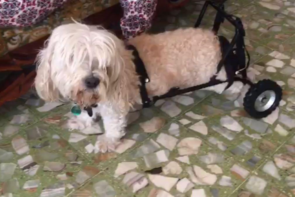 Silla De Ruedas Para Perros Gatos Andadera   150000 en Mercado Libre