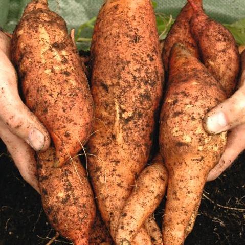 Growing Sweet Potato Plants Suttons Gardening Grow How