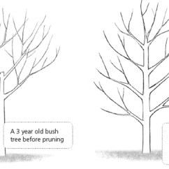 How To Prune An Apple Tree Diagram Clarion Vz401 Wiring Trees Growing Guide - Suttons Gardening Grow