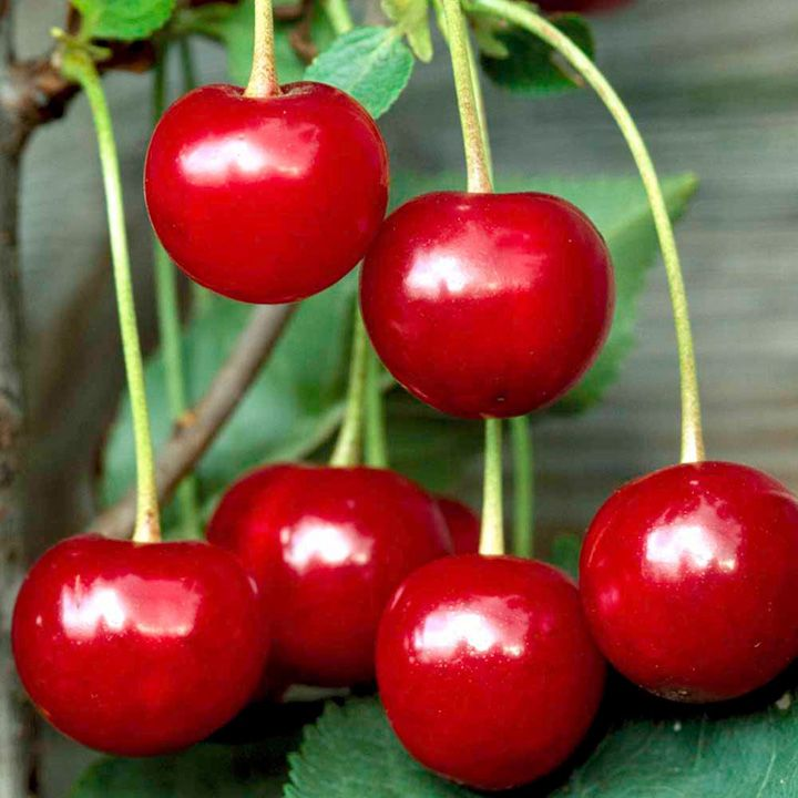 cherry tree fruit