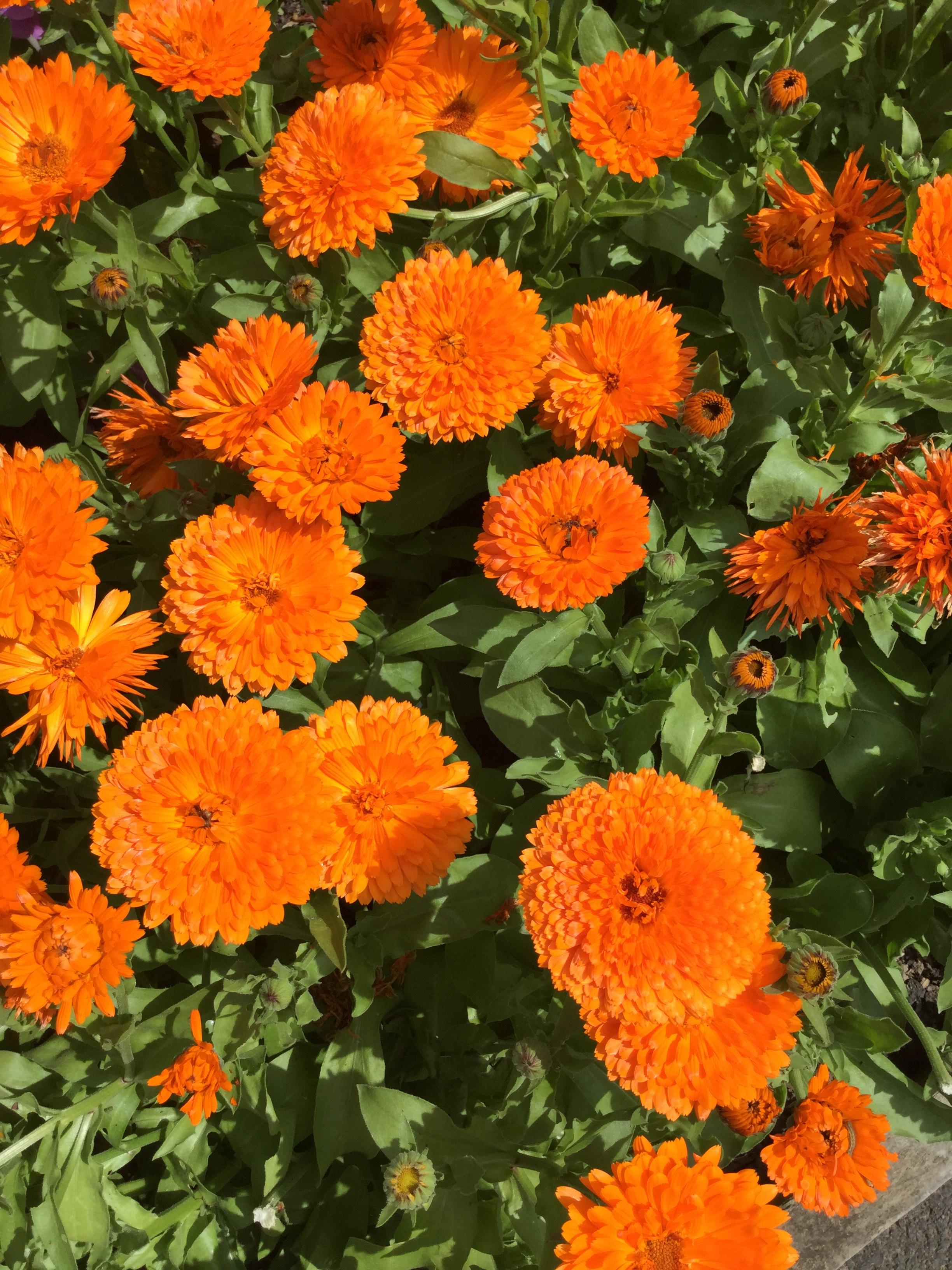 Calendula - October's Flower - Suttons Gardening Grow How