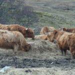 Bild von den Hochland Rinder