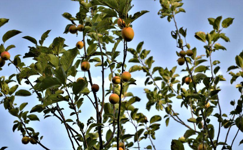 Apfel – Malus