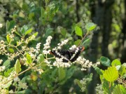 Lorquin's Admiral butterfly nectaring on Ocean Spray