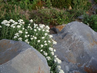 even in autumn there are flowers, here pearly ever-lasting