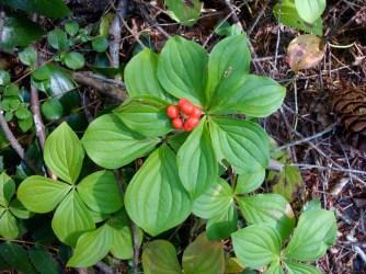 fall - berries of ground dogwood