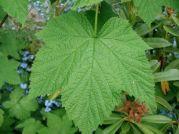 Thimbleberry leaf