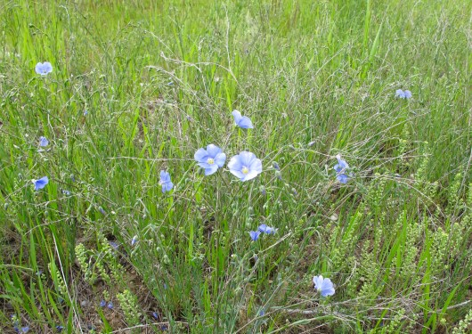 one of my favorite flowers was the flax that grew along the road we drove to the house we stayed in.