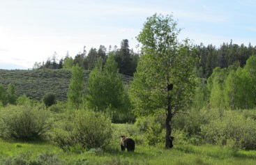 This grizzly mama bear and her two cubs, hanging out close to the road, created quite a line up of gawkers, and a traffic and safety nightmare for rangers. We drove by, wishing her well. I'm sure if she wanted she could let folks know she's had enough!