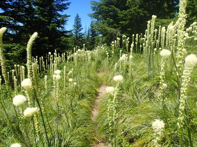 Bear Grass Around The Trail