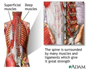 deep muscles that control posture