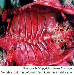 bald eagle scoliosis