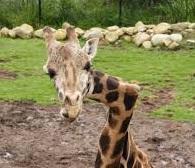 giraffe spinal curvature