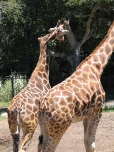 giraffes with scoliosis