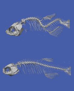 scoliotic fish
