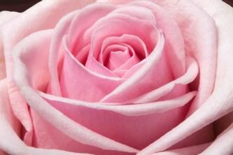 rose-373790_960_720