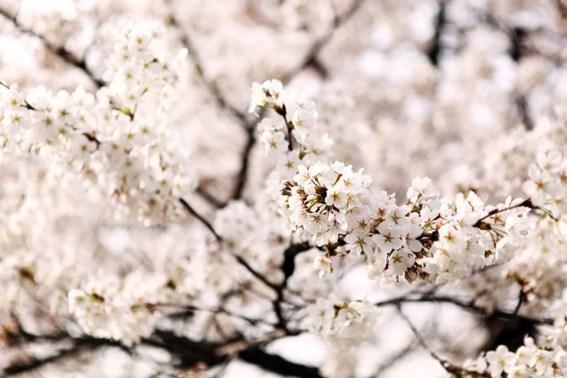 cherry-blossom-626049_640