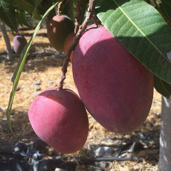 mango bombon o aborto de mago junto a mango irwin