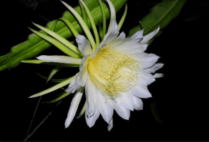 flor de la pitahaya o pitaya