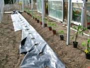 Las plantas las colocaremos a 40-50 cm de distancia entre ellas