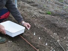3- Deposito los bulbos a uno 15cm.