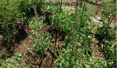 huerto con tomates