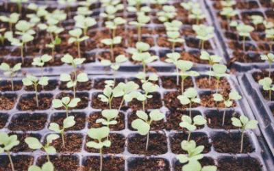 Cómo germinar semillas con éxito y hacer una prueba de germinación.