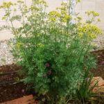 Planta de ruda en flor
