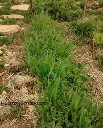 foto de veza y avena en el huerto. abono verde