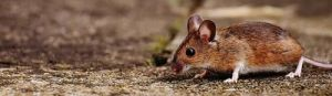 foto de ratón