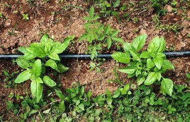 plantas de albahaca y tomates
