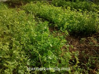 tierra sembrada con abono verde