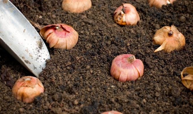 planting spring bulbs in fall