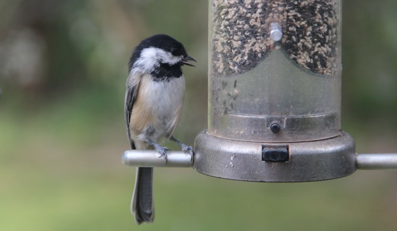Too hungry to be shy, this chickadee let me walk right up to him at the feeder.