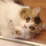 《家族募集中》マンチカン[2018.10.14生]❝甘え芸❞習得しました!