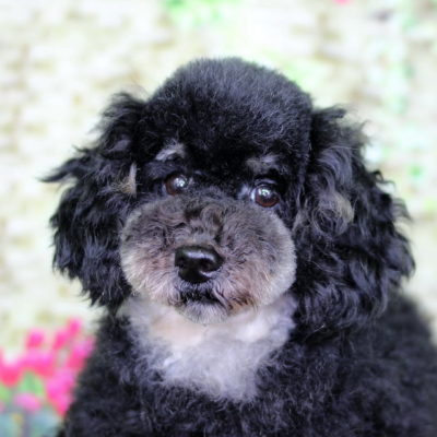 母犬:トイプードル ブラック&タン 3.8kg