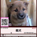 201900183 柴犬