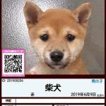 201900206 柴犬