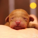 〈産まれました〉出産情報!トイプードル 2頭 【2019.11.18生】