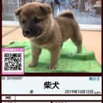 201900307 柴犬