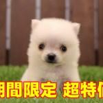 "<span class=""title"">202100145 チワポメ(ミックス犬)</span>"