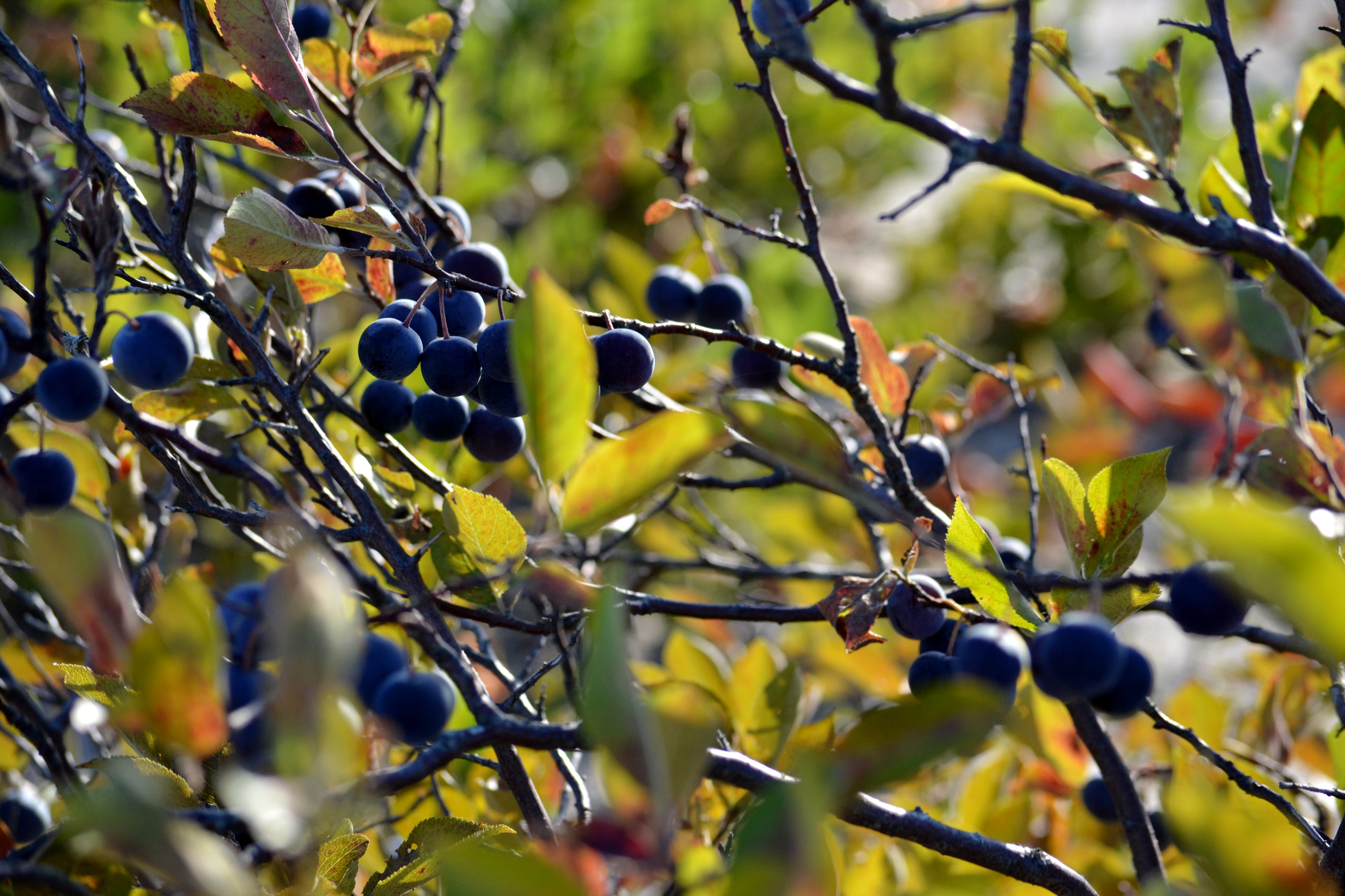 Beach Plum Crazy  Hugging Trees and Shelling Peas