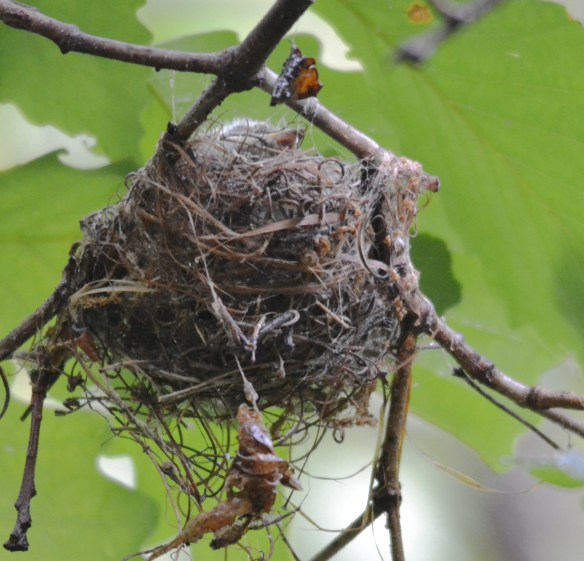 Acadian Flycatcher Nest
