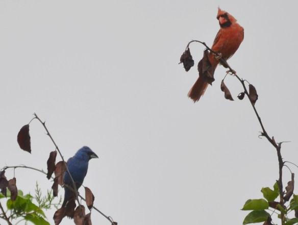 Blue Grosbeak and Cardinal