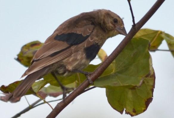 Bronze Headed Cowbird (Juvenile)