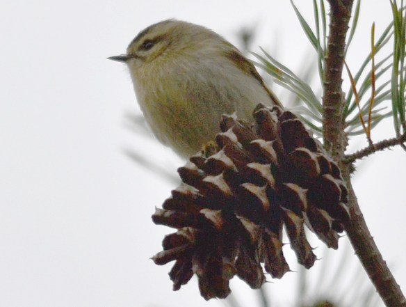Golden Crowned Kinglet