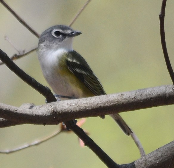 "The Blue-headed Vireo is the easternmost form in the ""Solitary Vireo"" complex. Formerly considered one species, three species now are recognized. In appearance it is the most brightly colored of the three."